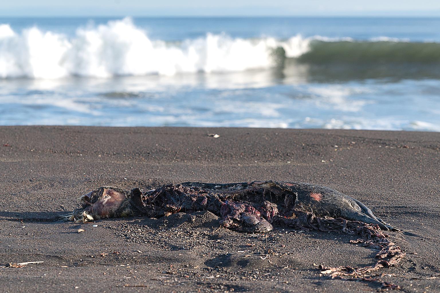 Elpusztult oroszlánfóka a kamcsatkai Avacsa-öbölben 2020. október 6-án #moszkvater