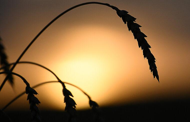 """""""Mindebből kiderül, hogy a termését az elmúlt hat évben több mint 20 százalékkal növelő Oroszország még hosszú évekig uralhatja a világ búzapiacát"""" #moszkvater"""